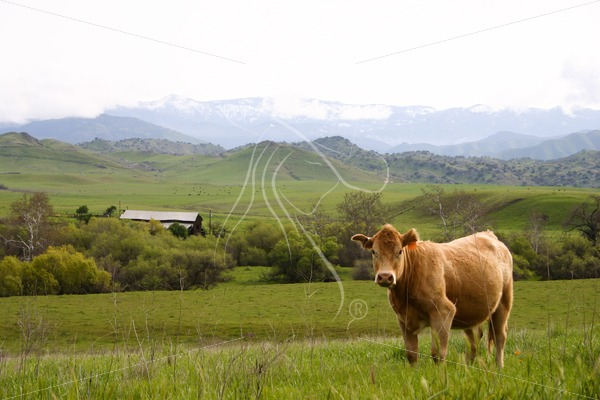 cow with barn in