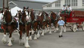 """Cowgirl Magazine"" - Budweiser Clydesdales"
