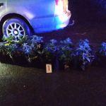 (Małopolska) Nietrzeźwy 33-latek  uciekał  przed policją samochodem wypełnionym sadzonkami konopi indyjskich.