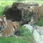 Tygrysek Diego gwiazdą krakowskiego zoo