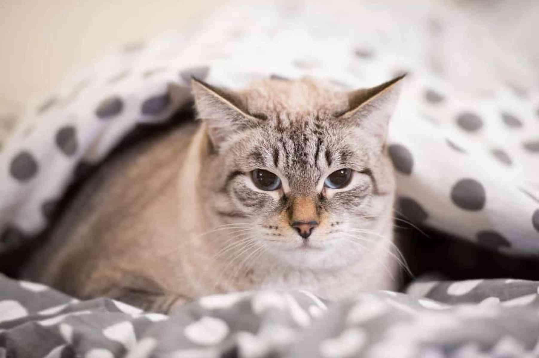 Jak zapobiegać białaczce u kota
