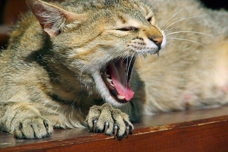 Opieka stomatologiczna kota