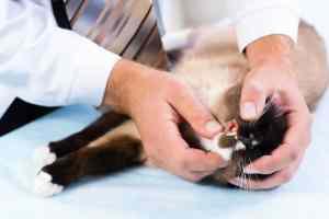 Zapalenie dziąseł u kota
