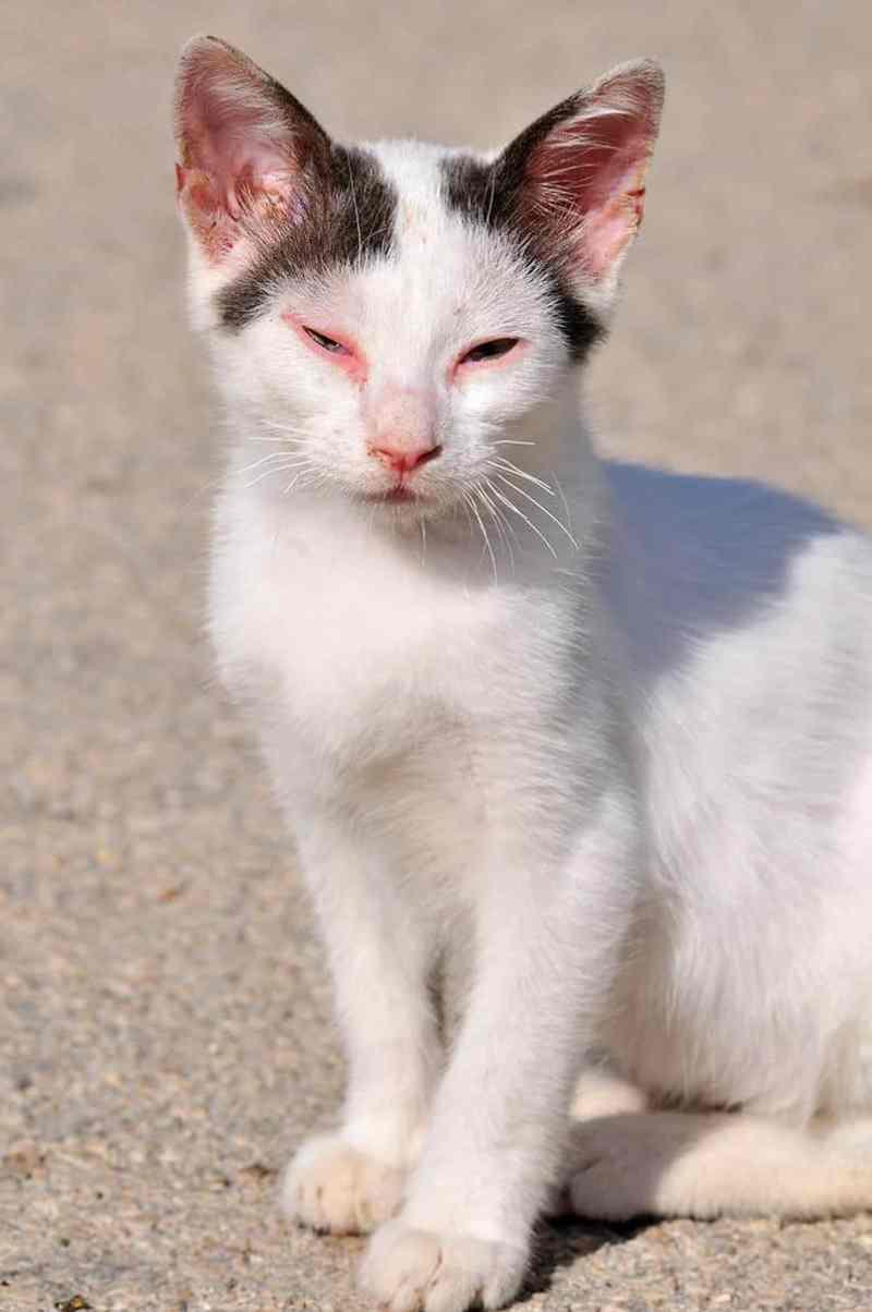 zapalenie spojowek u kota objawy