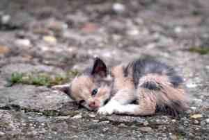 Anemia u kota: objawy i leczenie niedokrwistości kotów
