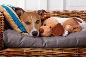 Ciąża urojona u psa: jakie są objawy i ile trwa ciąża urojona u suki?