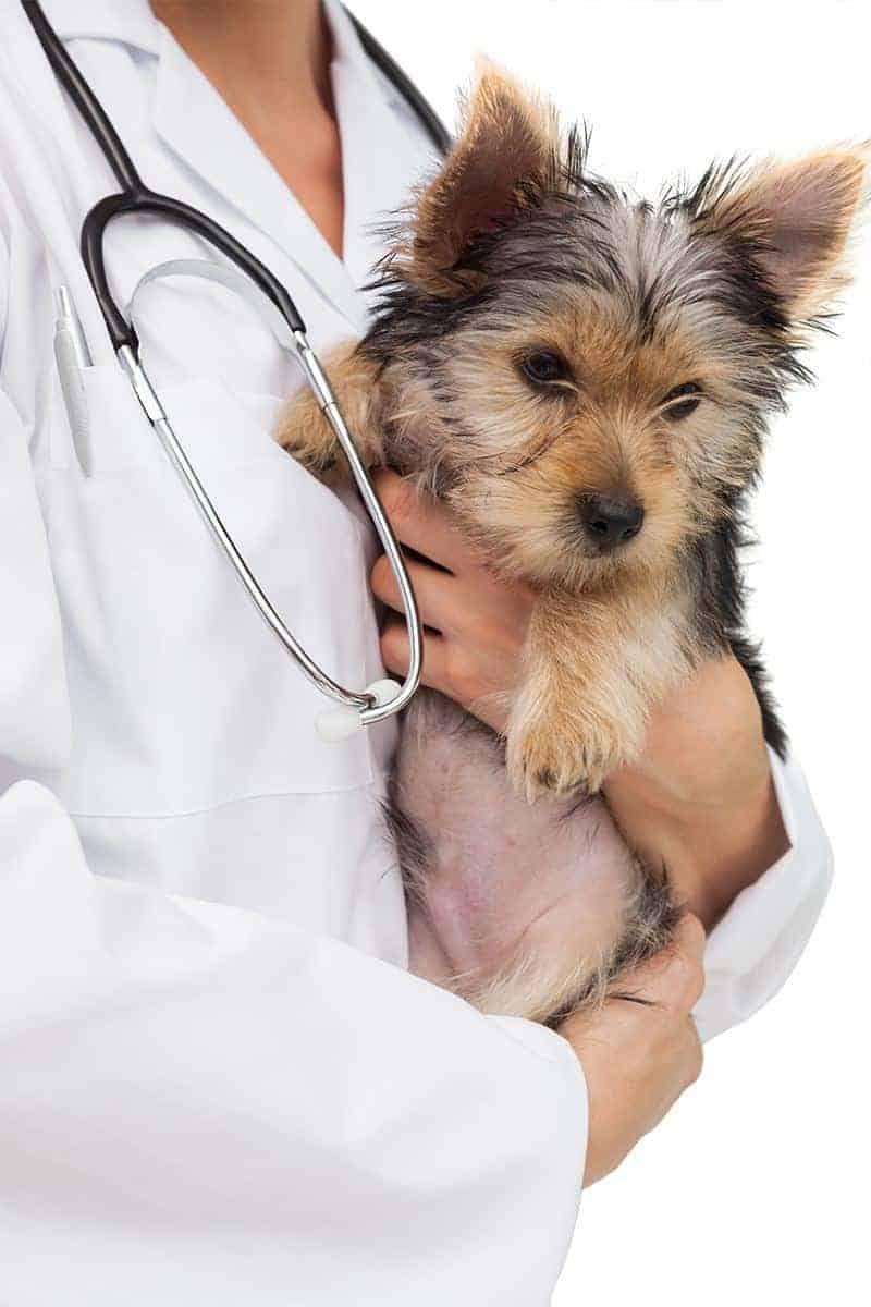 Zapadanie tchawicy u psa leczenie