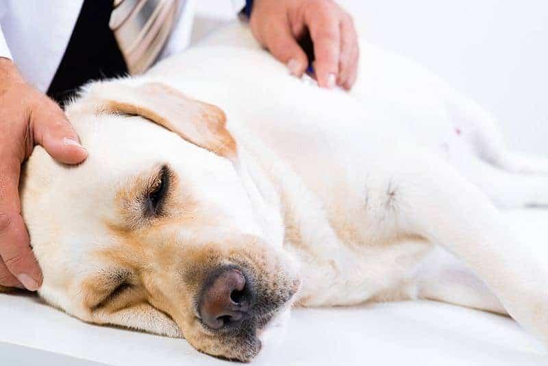 Na co chorują Labradory?