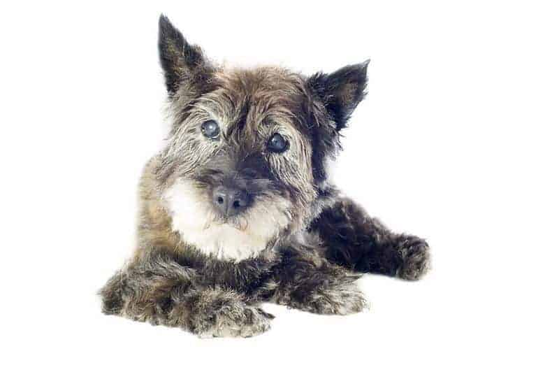 Zaćma starcza u psa