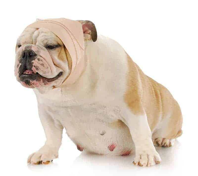 Jak opatrzyć głowę psa?
