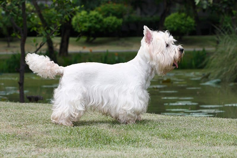 West highland white terrier pielęgnacja