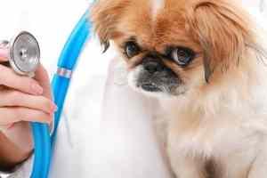 Choroby zastawek u psa i kota: objawy, leczenie i rokowania