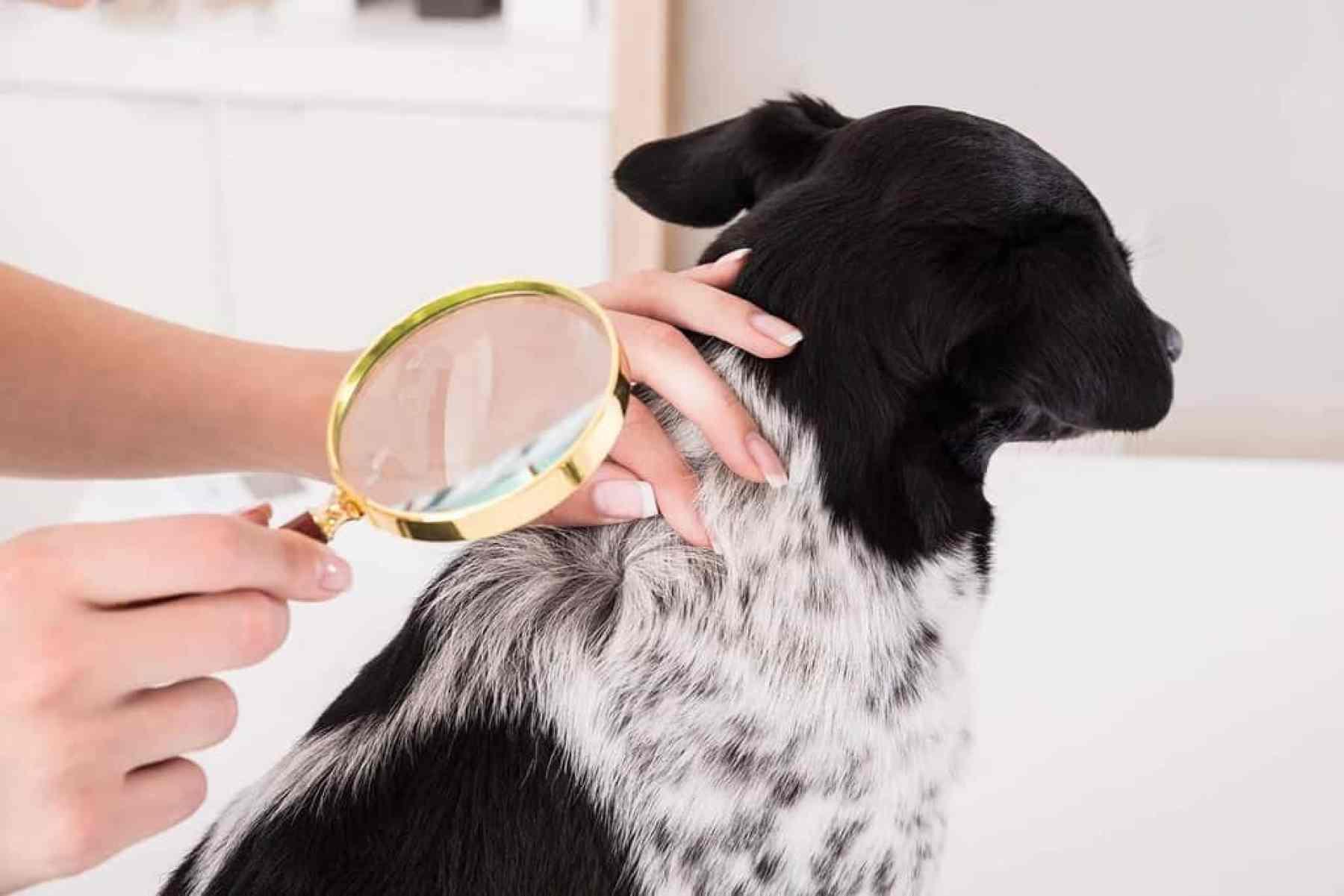 Wypadanie sierści u psa przyczyny