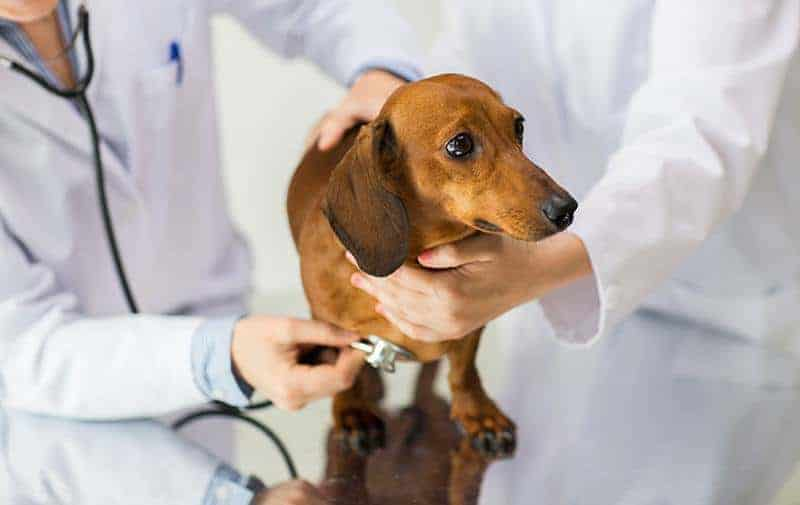 Endokardioza u psów: przyczyny