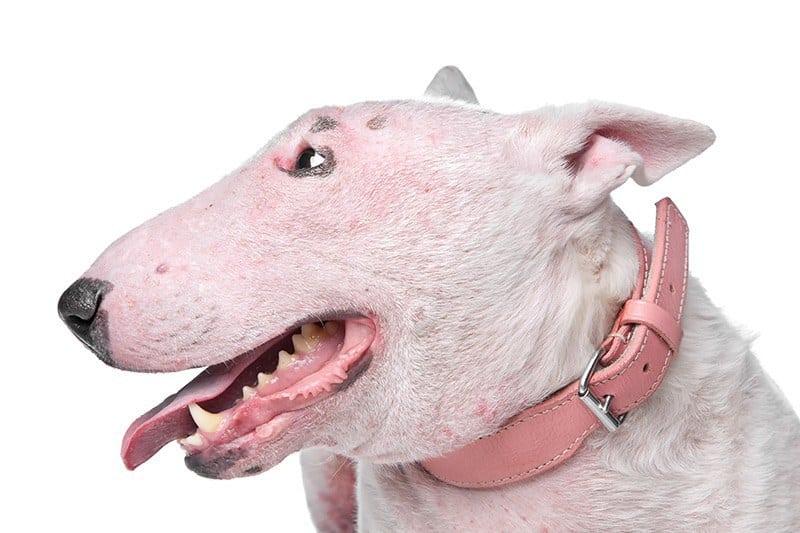 Pies z alergią skórną