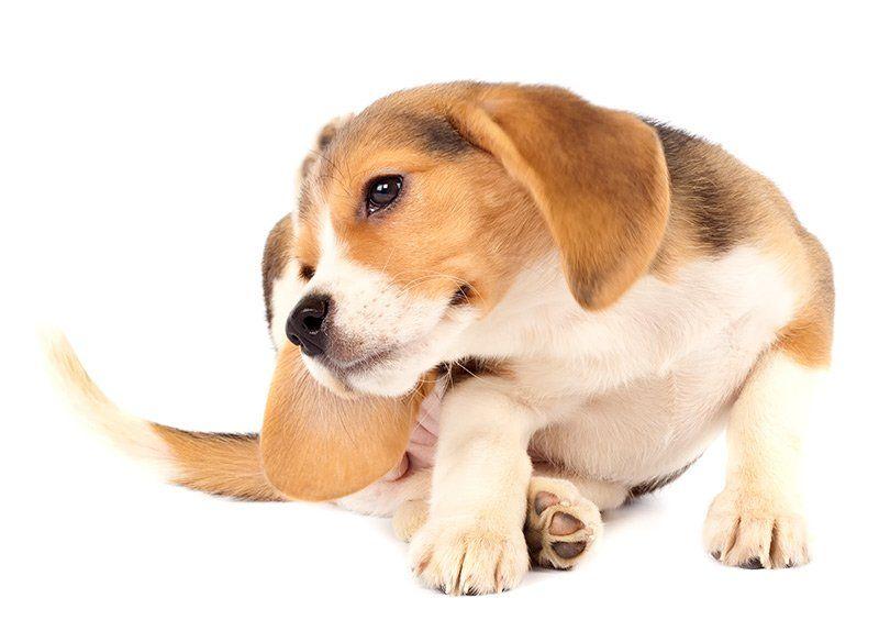 Szczeniak beagle