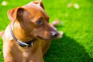 Obroża dla psa: jak wybrać dobrą obrożę dla psa?