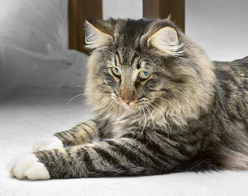 Czy warto zdecydować się na kota norweskiego leśnego?
