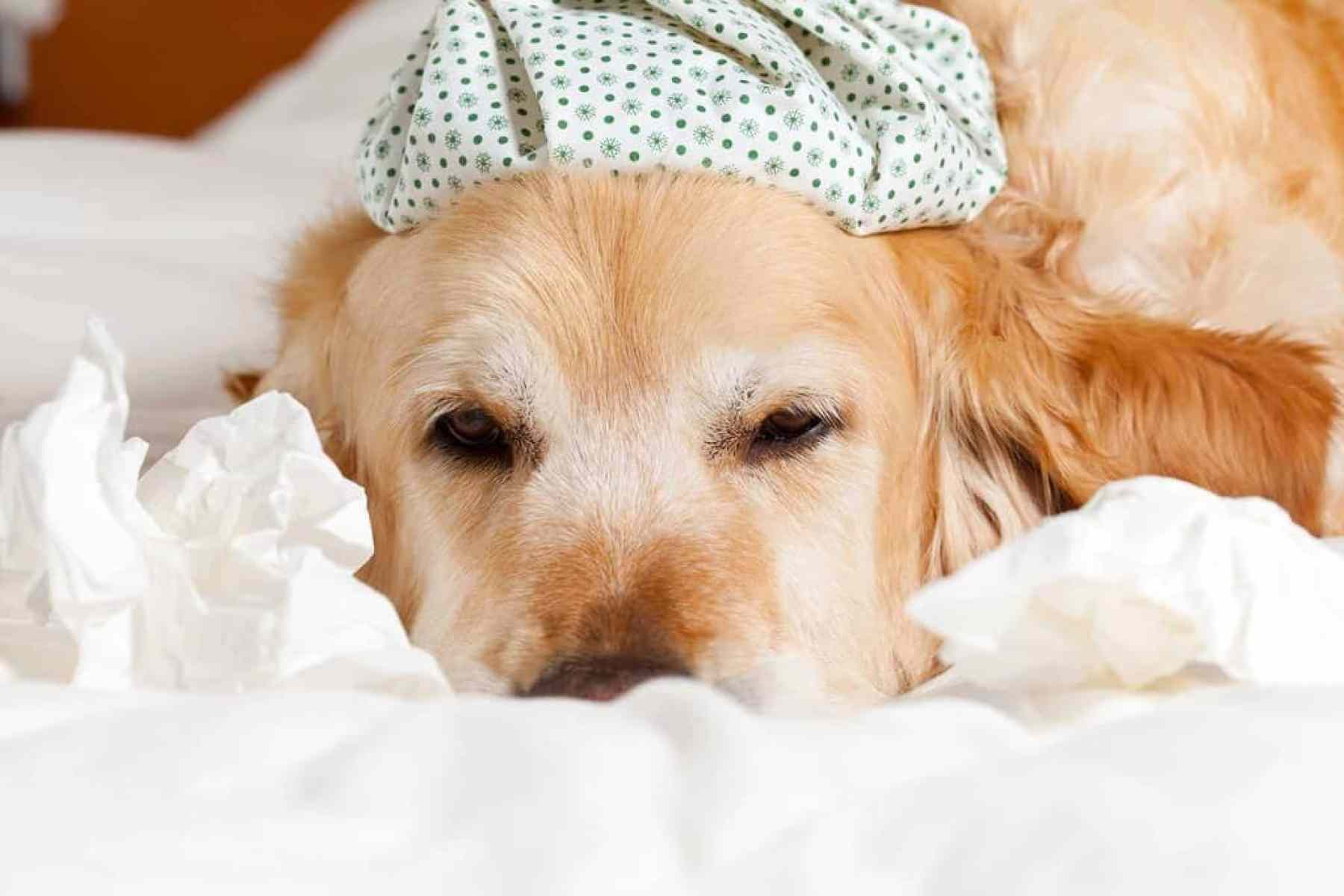 Przeziębienie u psa