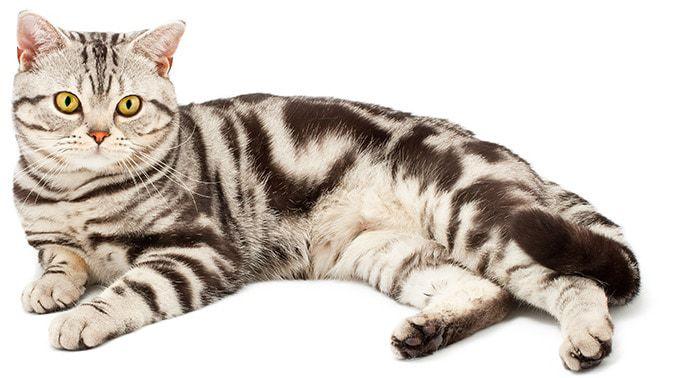 Amerykański kot krótkowłosy