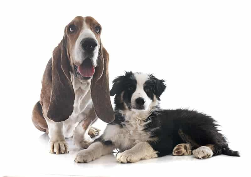 Basset hound charakter
