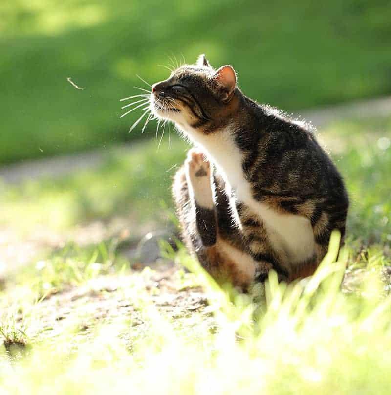Warto zapobiegać inwazji pcheł u kota