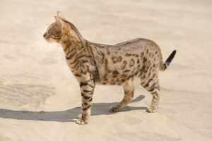Kot savannah: charakter, pielęgnacja i najczęstsze choroby
