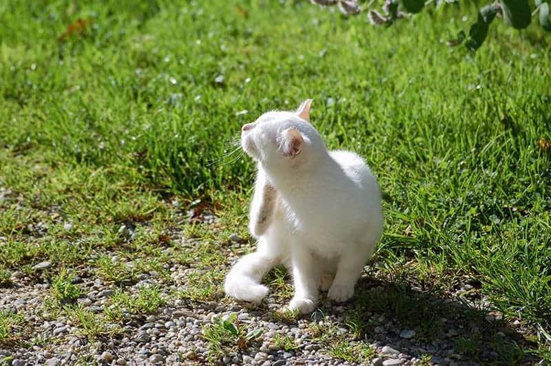Rozpoznanie inwazji pcheł u kota