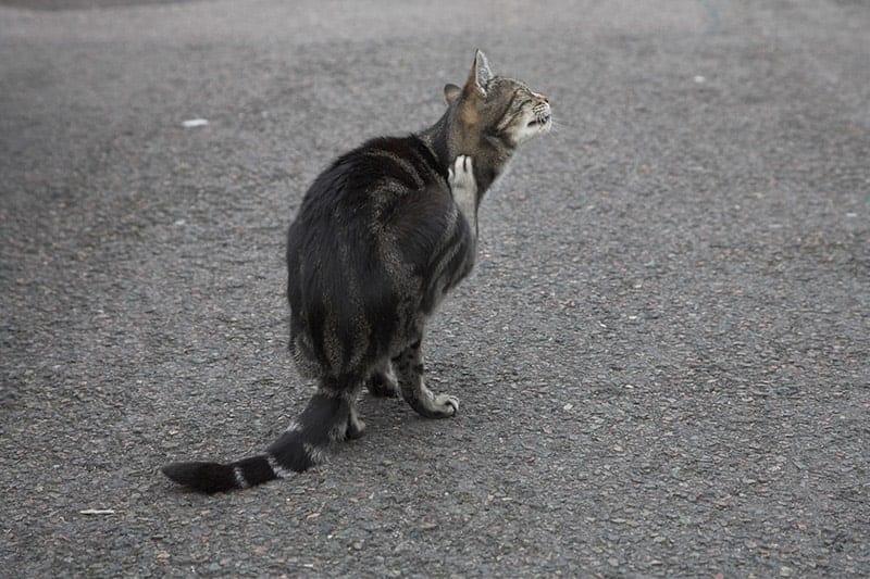 Alergiczne pchle zapalenie skóry u kota