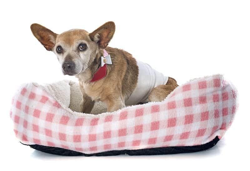Psi seniorzy są dużo bardziej narażeni na choroby nowotworowe