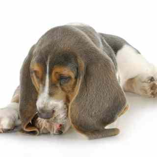 Nowotwór u psa przyczyny