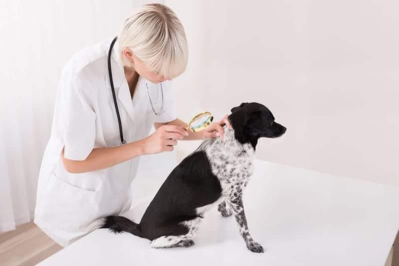 Nowotwór skóry u psa