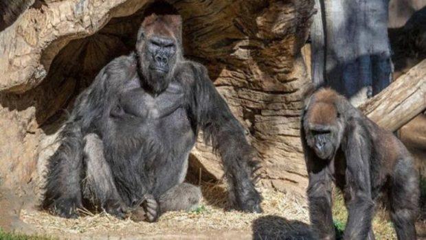 https://i0.wp.com/coxview.com/wp-content/uploads/2021/01/Animal-Gorilla-Coronavirus.jpg?resize=620%2C350