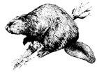 North American beaver (Castor canadensis)