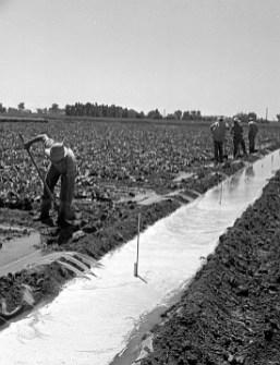 Photo of Sugar Beet Farming taken for Agronomy on July 21, 1947.