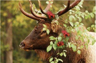Christmas Elk via the Middle Colorado Watershed Council December 2013