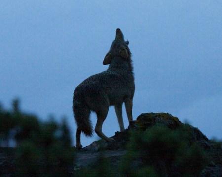 Urban coyote photo via Coyote Yipps