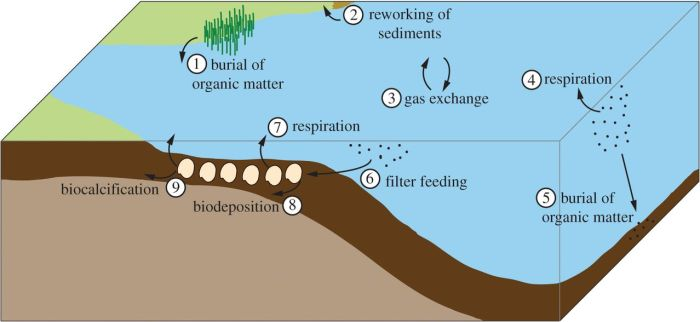 A subset of the processes involved in estuarine carbon cycling. (1) Sequestration of carbon via vegetation (e.g. salt marshes, mangroves) growth, death and burial; (2) emission of carbon due to reworking of carbon-rich sediments; (3) constant gas exchange between ocean and atmosphere; (4) emission of carbon via respiration by microbes and zooplankton; (5) sequestration of carbon via burial of dead plankton; (6) filter feeding by bivalves; (7) carbon emission via bivalve respiration; (8) carbon sequestration via biodeposition and (9) carbon sequestration and emission via biocalcification. Figure via Jansen Smith and Cornell University.
