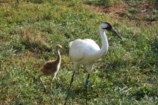 Whooping crane adult and chick. Credit: USGS (public domain)