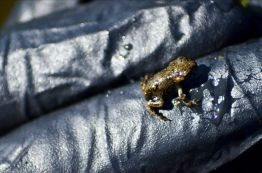 In an ongoing conservation project, CPW recently released 1,700 boreal toad toadlets in a wetland in the San Juan mountains. Photo credit: Colorado Parks & Wildlife