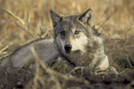 Gray wolves were extirpated from Colorado in the 1930s, but a pack was recently spotted in the northwest corner of the state. In November, voters in the state will decide on a measure to reintroduce gray wolves. JOHN AND KAREN HOLLINGSWORTH, USFWS