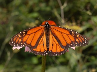 Photograph of a Male Monarch Butterfly. Photo by and (c)2007 Derek Ramsey (Ram-Man)