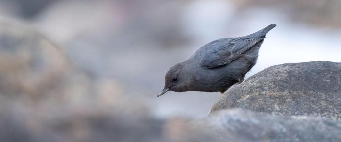 American Dipper. Photo: Evan Barrientos/Audubon Rockies