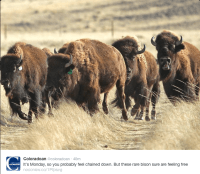 Yellowstone Bison at the Soapstone Prairie near Fort Collins November 2015.