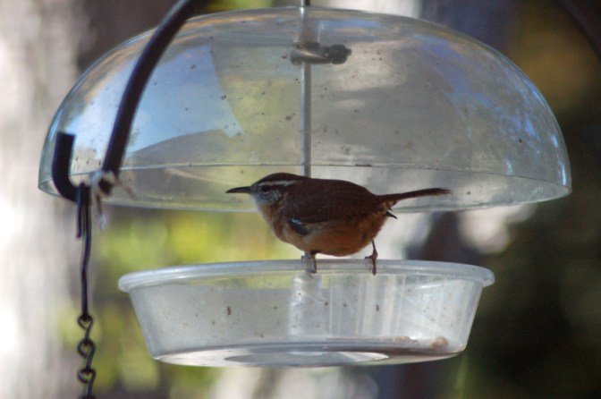 A Carolina Wren on the worm feeder