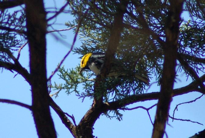 Golden-cheeked Warbler 2