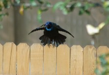 Common Grackle doing the grackle display
