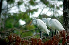Great Egrets watching the water