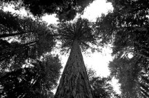Looking up the Coastal Redwoods