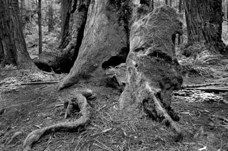 Coastal Redwoods and a Root